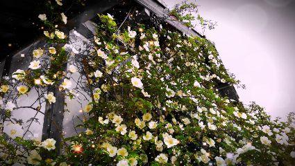 hagi japan flower beautiful nature