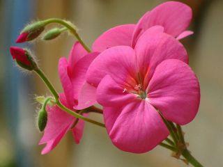 argentina flower